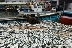 울진지역 주요 항·포구 고등어 '대풍'