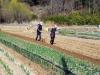 봄 찾아온 들녘에 밭갈이 '한창'