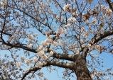 성류굴 가는 길 연분홍 '벚꽃' 활짝
