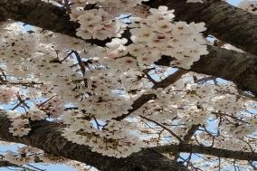 만개한 벚꽃